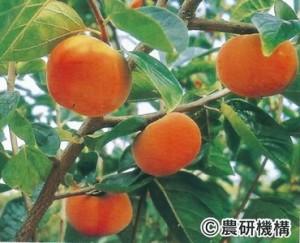 甘秋(かんしゅう)