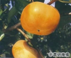 貴秋(きしゅう)