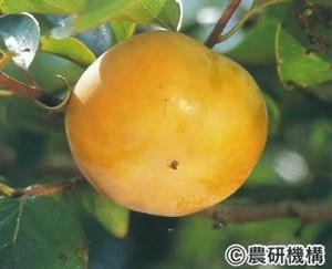 太秋(たいしゅう)